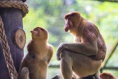 Proboscis monkey. In the zoo of Kota Kinabalu, Malaysia Stock Photography