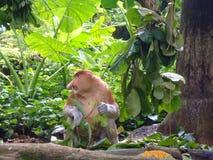 Proboscis monkey in the zoo of Singapore stock images