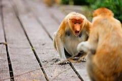 Proboscis monkeys Stock Images