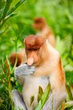 Proboscis monkeys Royalty Free Stock Image