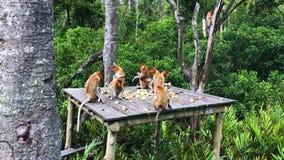 Proboscis monkeys endemic of Borneo island in Malaysia stock video