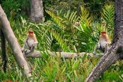 Proboscis monkeys sitting on a tree, Borneo. Malaysia Royalty Free Stock Photography