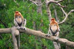 Proboscis monkeys sitting on a tree, Borneo Stock Images