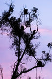 Proboscis monkeys in a tree at dusk, Tanjung Puting National Park, Kalimantan, Indonesia Stock Photos