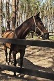 Procès de cheval de Brown Image stock