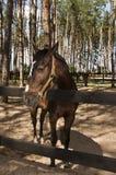 Procès de cheval de Brown Photos libres de droits