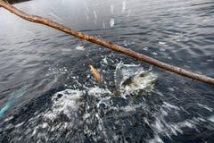 procédure de la pêche de brochet dans le piège spécial Photos stock