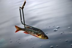 procédure de la pêche de brochet dans le piège spécial Photo libre de droits