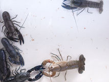 Procambarus Clarkii红色日本 图库摄影