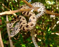 Procedi serpeggiando in un serpente di ratto (verde) peninsulare dell'albero Fotografie Stock