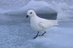 Procellaria della neve che si siede sull'ANTARTIDE del ghiaccio Immagini Stock Libere da Diritti