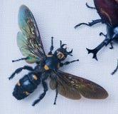 Procer del megascolia del primer de la avispa Fotografía de archivo