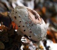 Procera de Macrolepiota do cogumelo de parasol ou de procera de Lepiota growi foto de stock royalty free