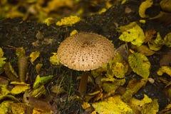 Procera Macrolepiota гриба парасоля Стоковое Изображение RF