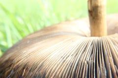 Procera Macrolepiota гриба парасоля Стоковое Изображение