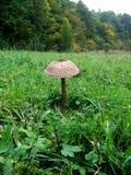 Procera Macrolepiota на поле Стоковые Фотографии RF