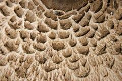 procera macrolepiota стоковые изображения rf