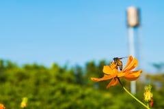 proces kolor, pszczoła w kwiacie zadziwia, honeybee zapylający orang Zdjęcia Royalty Free