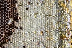 Proces nakrętka & x28; cells& x29; , pszczoły pieczętuje honeycombs Obrazy Stock