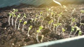 Proces om vele kleine groene spruiten water te geven stock video