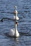 Procesión de cisnes mudos Imagen de archivo libre de regalías