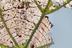 Proceso colorido del envejecimiento de la hoja del otoño de los cambios naturales Textura macra de las hojas del álamo temblón de Fotografía de archivo libre de regalías