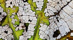 Proceso colorido del envejecimiento de la hoja del otoño de los cambios naturales Textura macra de las hojas del álamo temblón de Fotografía de archivo