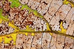 Proceso colorido del envejecimiento de la hoja del otoño de los cambios naturales Textura macra de las hojas del álamo temblón de Imagen de archivo