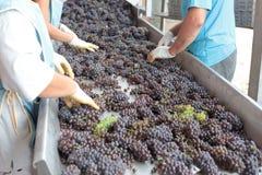 Proceso de la elaboración de vino Imagen de archivo