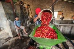 Proceso de las cerezas del café Fotos de archivo libres de regalías