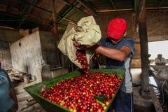 Proceso de las cerezas del café Imagen de archivo