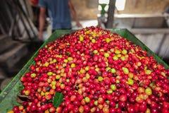 Proceso de las cerezas del café Imagen de archivo libre de regalías