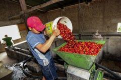 Proceso de las cerezas del café Foto de archivo libre de regalías