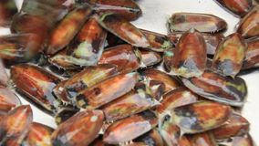 Proceso de los mejillones del mar para la comida almacen de metraje de vídeo