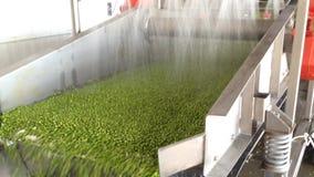 Proceso de trabajo de la producción de guisantes verdes en fábrica de conservas Guisantes verdes maduros que se lavan en agua ant metrajes