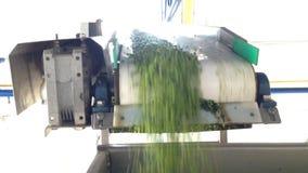 Proceso de trabajo de la producción de guisantes verdes en fábrica de conservas Guisantes verdes maduros que se lavan en agua ant almacen de video