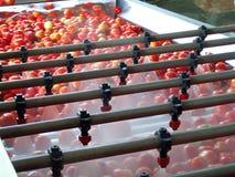 Proceso del tomate Fotografía de archivo