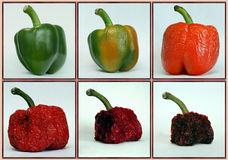 Process. Of a pepper from fresh to decay Royalty Free Stock Image