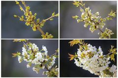 The process of blossoming flowers on the tree. stock image