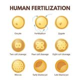 Human fertilization Royalty Free Stock Images
