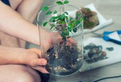Process of cleaning the bonsai in the spring. Man hands holding a bonsai in a cylindrical glass after cleaning it from dried royalty free stock photo