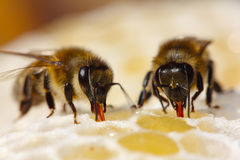 The process of converting nectar to honey. The bees suck nectar of ventricles, where it will be enriched by enzymes Royalty Free Stock Photography