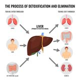 Process of detoxification and elimination cartoon medical poster. Process of detoxification and elimination medical poster with simple scheme. Liver and other Stock Images