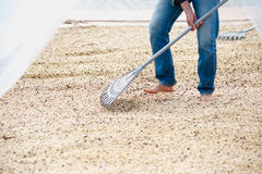 Process of drying coffee beans in clean room Royalty Free Stock Image