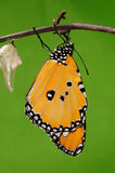 The process of eclosion(13/13 ) The butterfly try to drill out of cocoon shell, from pupa turn into butterfly. Pupa on tree, butterfly is ready to drilled out Stock Images