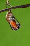 The process of eclosion(2/13 ) The butterfly try to drill out of cocoon shell, from pupa turn into butterfly. Pupa on tree, butterfly is ready to drilled out Stock Photos