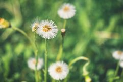 The process of ending the flowering of the coltsfoot plant on a sunny spring day.  royalty free stock photos