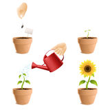 Process of growing a sunflower. Illustration of a sunflower growing process Stock Photo