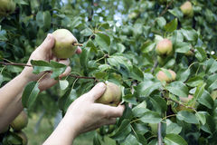 Process of harvesting of autumn pears Royalty Free Stock Image