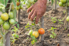 The process of harvesting ripe tomatoes Stock Photo